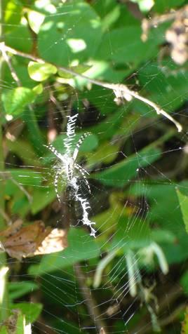 Zipper spider